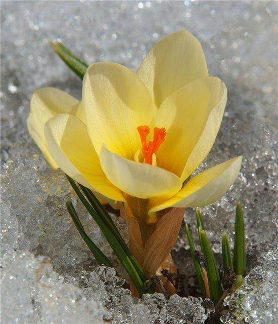 Цветы на снегу зимой и ранней весной. Подснежник